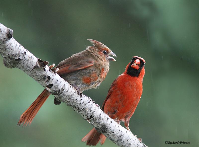 Cardinal rouge juvénile Cardin11