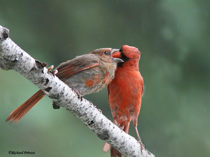Cardinal rouge juvénile Cardin12