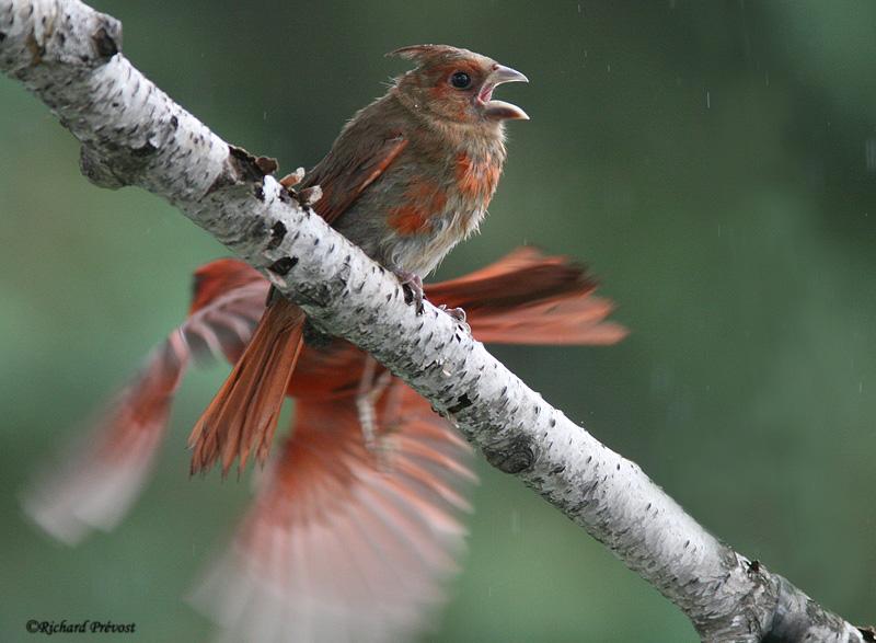 Cardinal rouge juvénile Cardin13