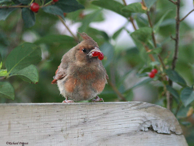 Le Cardinal rouge et ses rejetons Cardin14