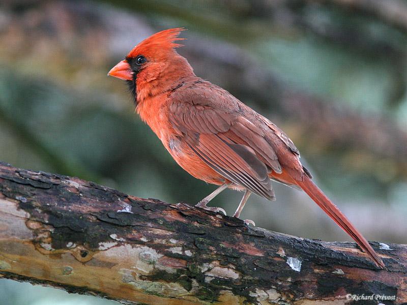 Le Cardinal rouge et ses rejetons Cardin15