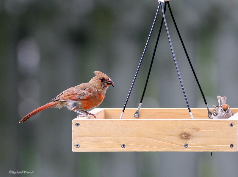 Le Cardinal rouge et ses rejetons Cardin17