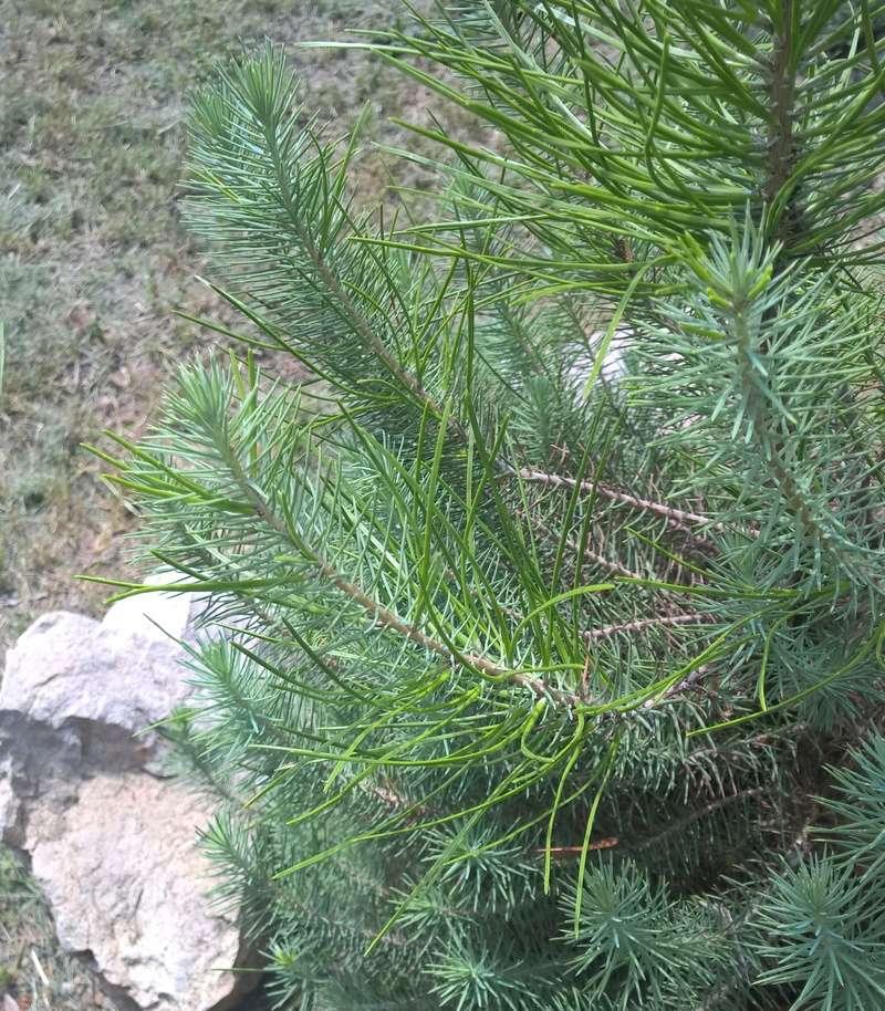 Picea glauca or Pinus Thunbergii Wp_20119