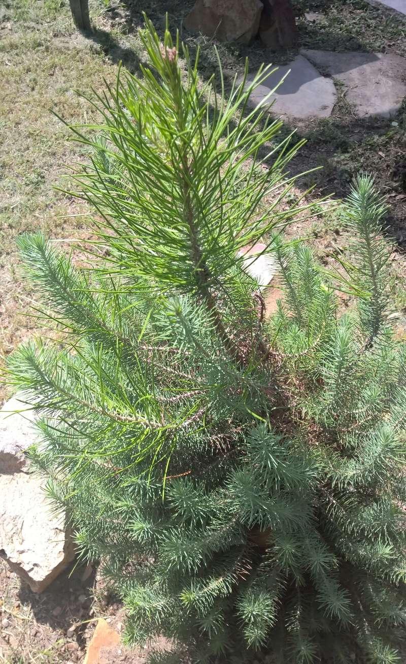 Picea glauca or Pinus Thunbergii Wp_20122