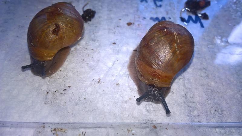 archachatina marginata ovum a reserver !!! Wp_20114