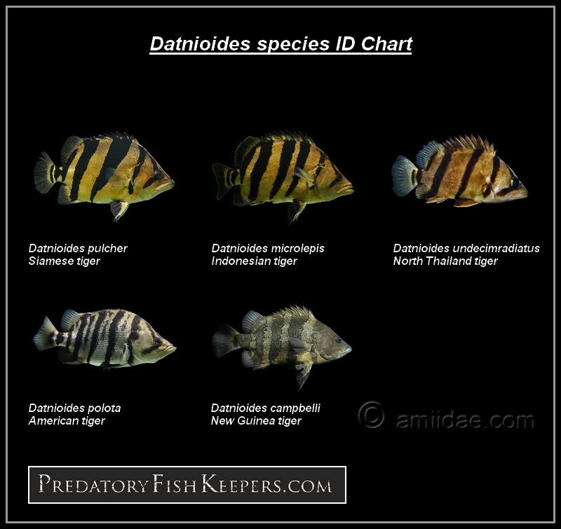 Datnioides microlepis (Bleeker, 1854) Indonesian tiger fish. Dat Pfkdat10