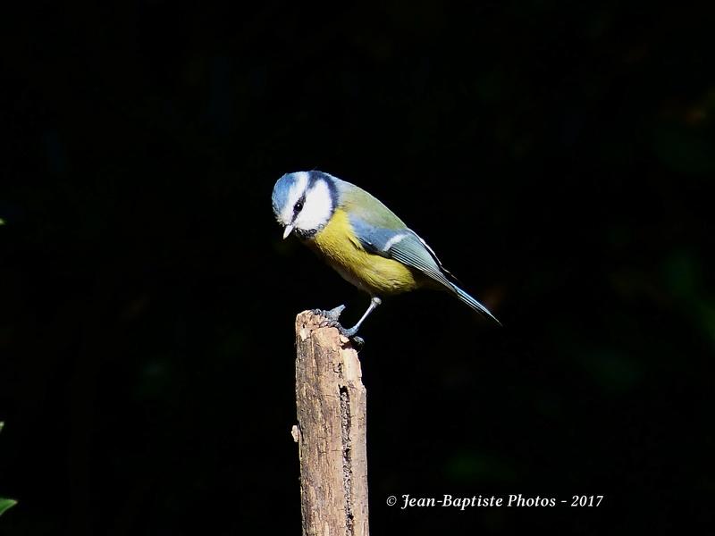 Les oiseaux de mon jardin. P1810810