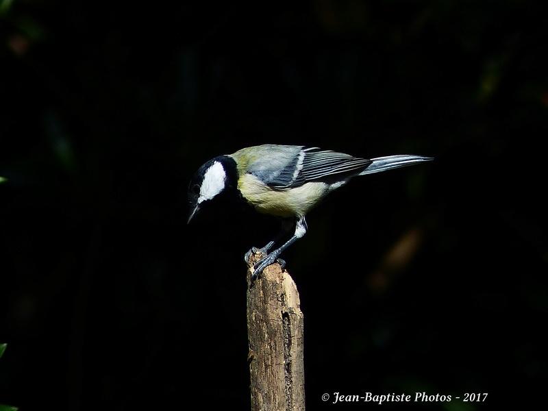 Les oiseaux de mon jardin. P1810811