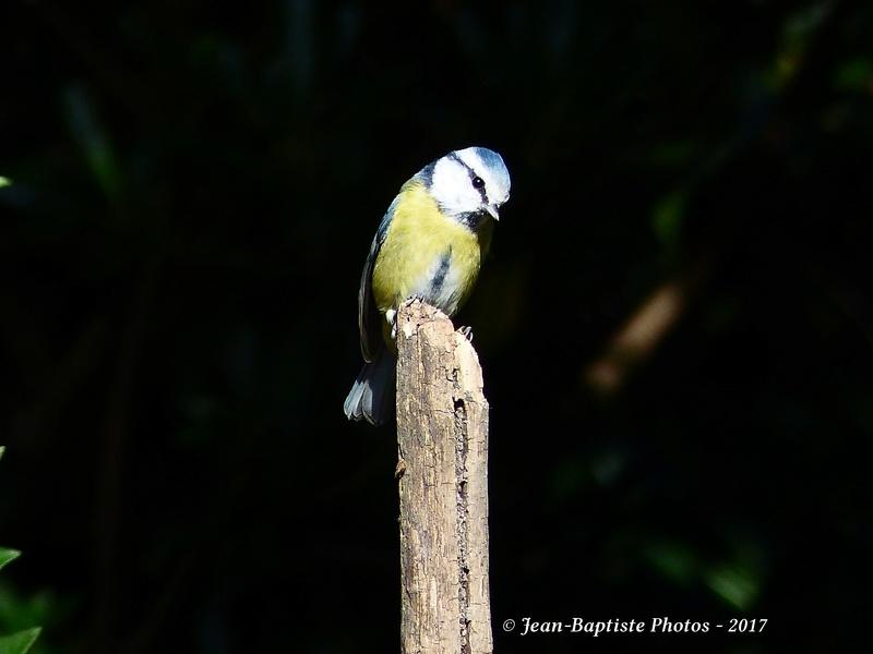 Les oiseaux de mon jardin. P1810813