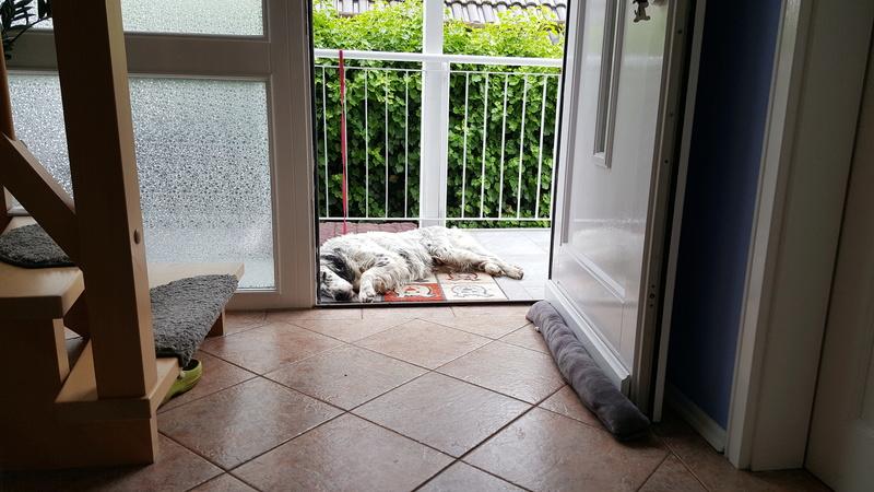 Bildertagebuch -  Lapo: wunderhübscher Settersenior sucht Zuhause mit einem Kuschelkörbchen - VERMITTELT! 20170615