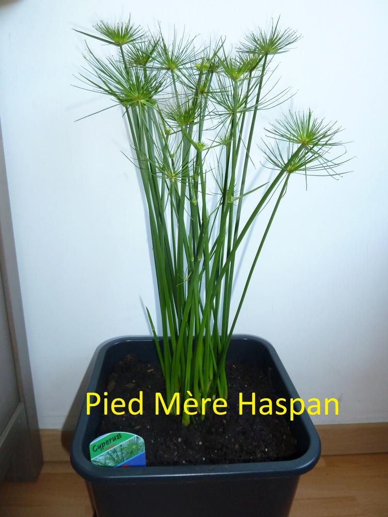 Bouture de mes papyrus et géraniums Haspan10