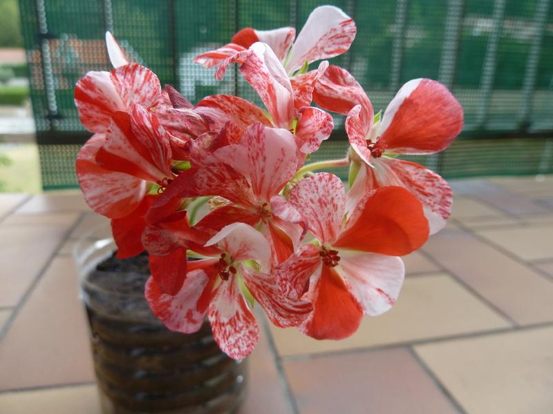 Géranium bicolore  P1020517
