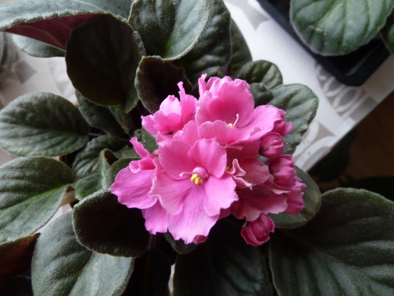 Saint Paulia rose et blanc P1020518