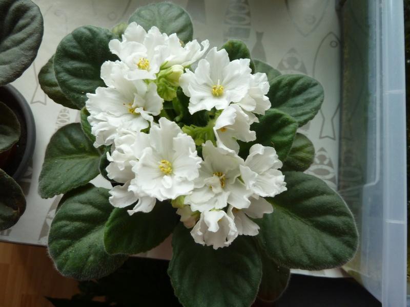 Saint Paulia rose et blanc P1020519