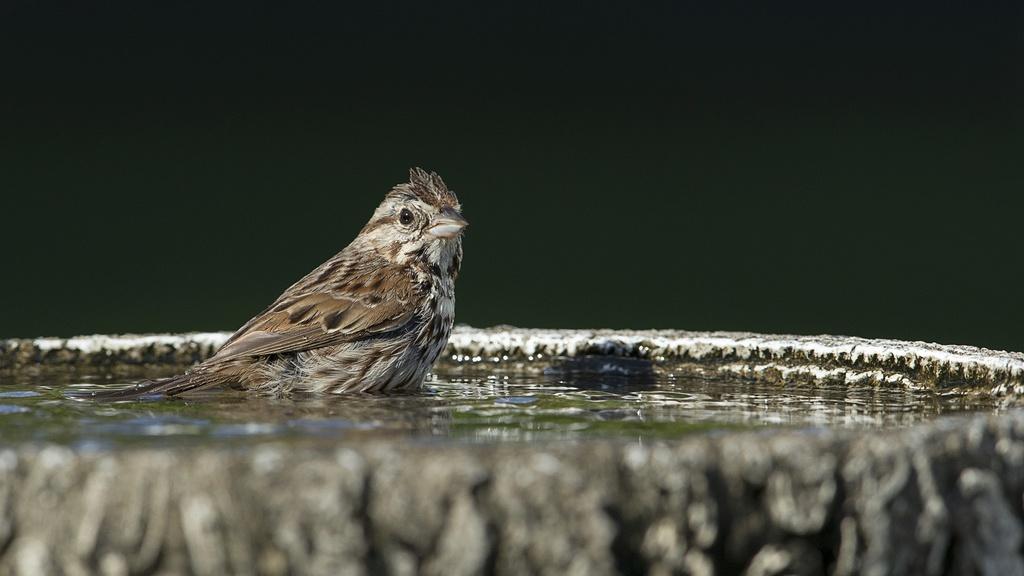 Bruant chanteur au bain Bruant13