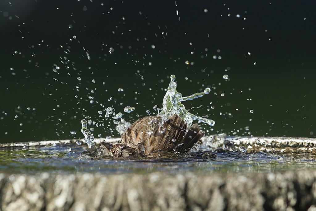 Bruant chanteur au bain Bruant14