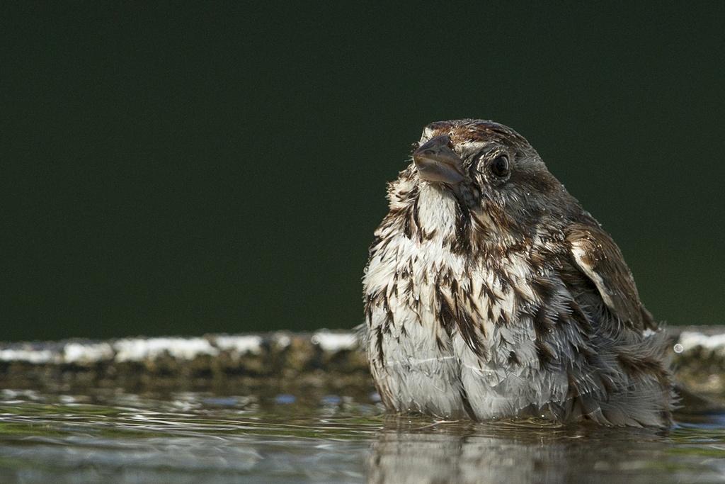Bruant chanteur au bain Bruant15