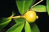 Ѽ❀❀❀Ѽ Экзотические фрукты – кладезь витаминов и минералов  98-acg10