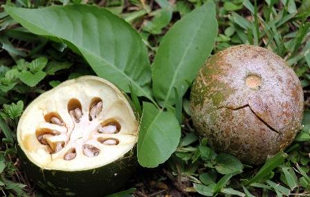 Ѽ❀❀❀Ѽ Экзотические фрукты – кладезь витаминов и минералов  Aegle_10