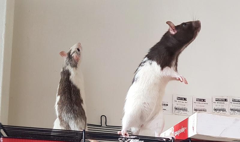A adopter 2 rates de 9 mois Rat210
