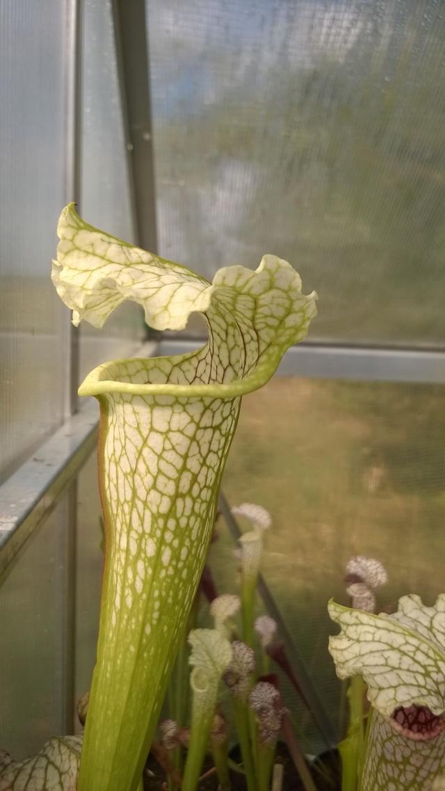 Mes Sarracenia - Page 3 Wp_20172