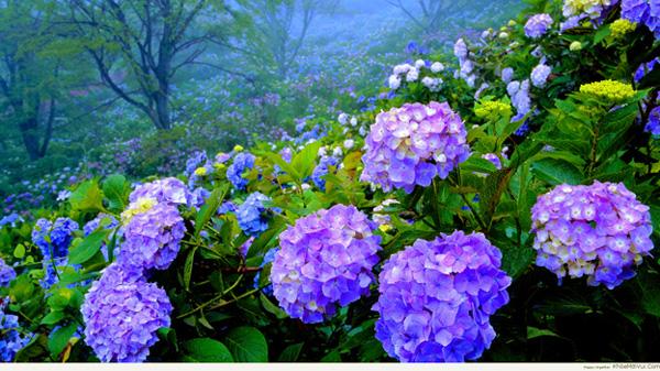 Sự tích hoa cẩm tú cầu Camtuc10