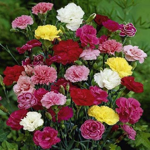 Sự tích hoa cẩm chướng Carnat10