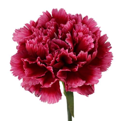 Sự tích hoa cẩm chướng Carnat12