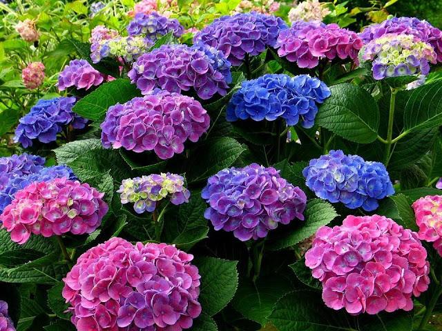 Sự tích hoa cẩm tú cầu Hoa-ca10
