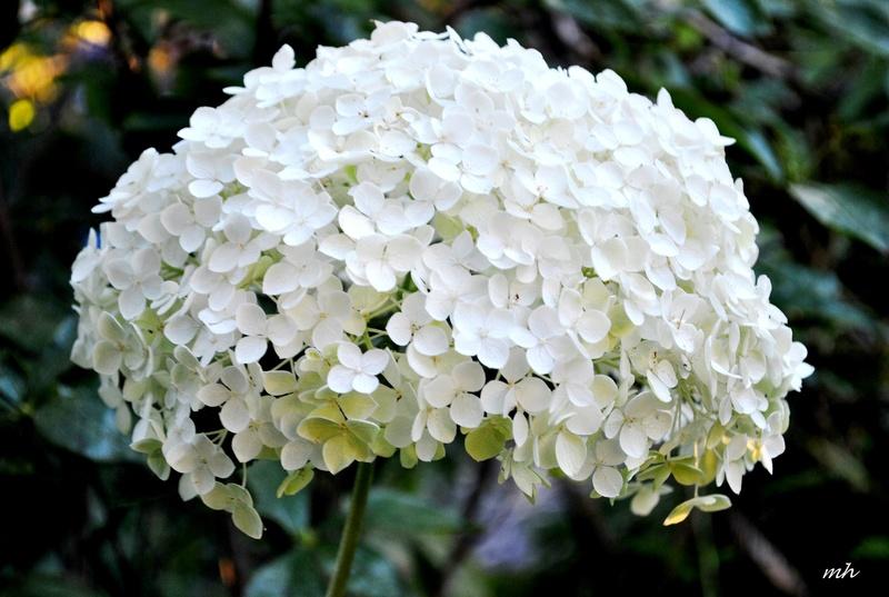 Sự tích hoa cẩm tú cầu Hoa-ce10