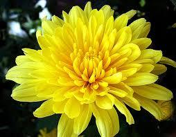 Sự tích hoa cúc Hoacuc10