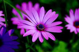Sự tích hoa cúc Hoacuc11