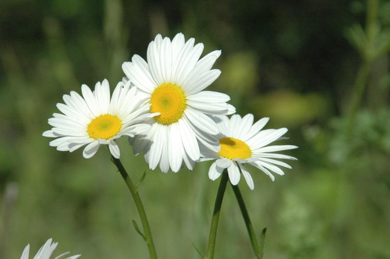 Sự tích hoa cúc Hoacuc12