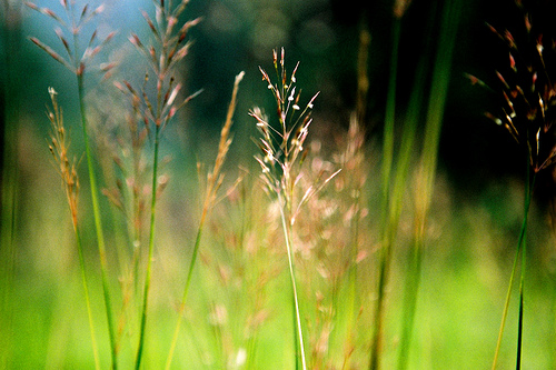Sự tích hoa cỏ May Su-tic10