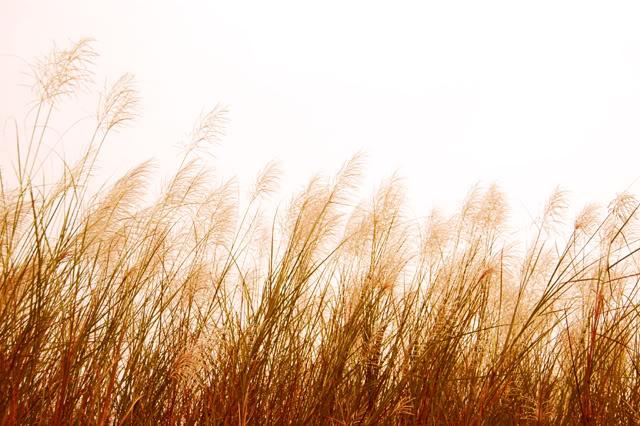 Sự tích hoa cỏ May Su-tic11