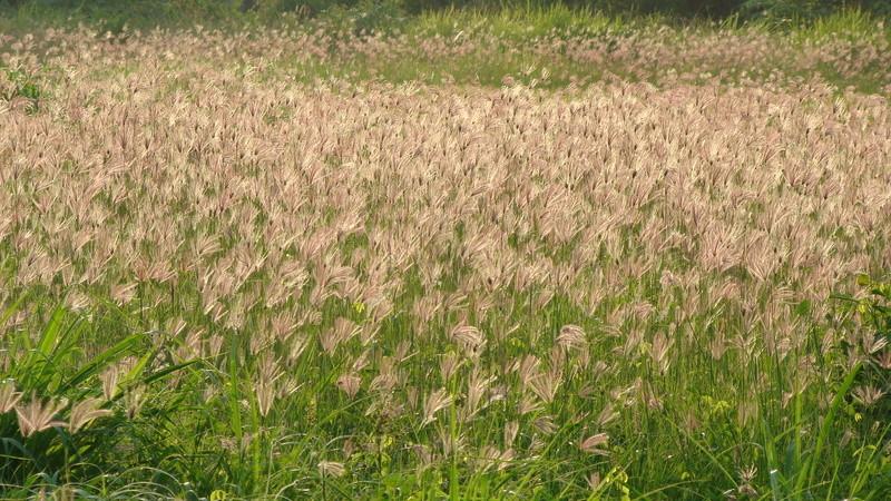 Sự tích hoa cỏ May Su-tic12