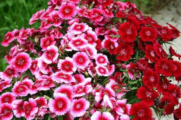 Sự tích hoa cẩm chướng Y-nghi10