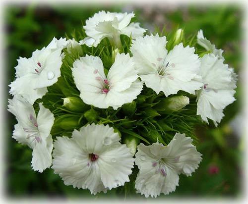 Sự tích hoa cẩm chướng Y-nghi11