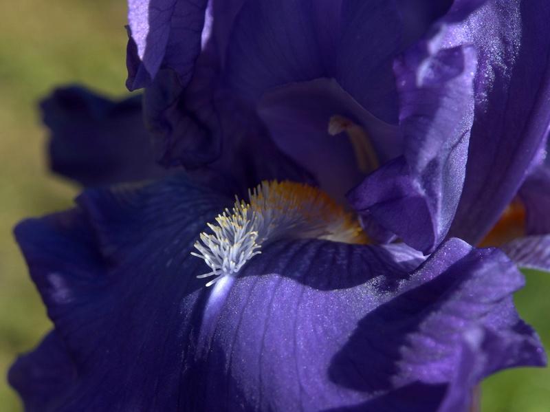 Iris 'Blue Suede Shoes' - Schreiner 1996 Blue_s11