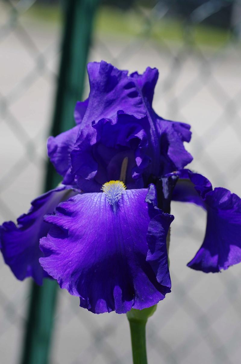 Iris 'Blue Suede Shoes' - Schreiner 1996 Blue_s12