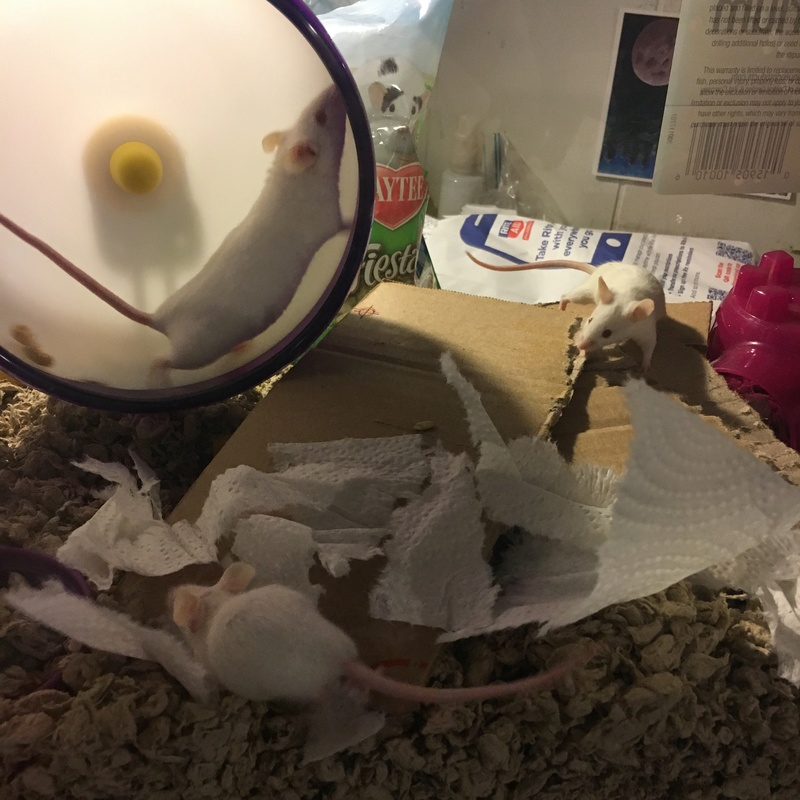 Two new mousie babies! Mice10