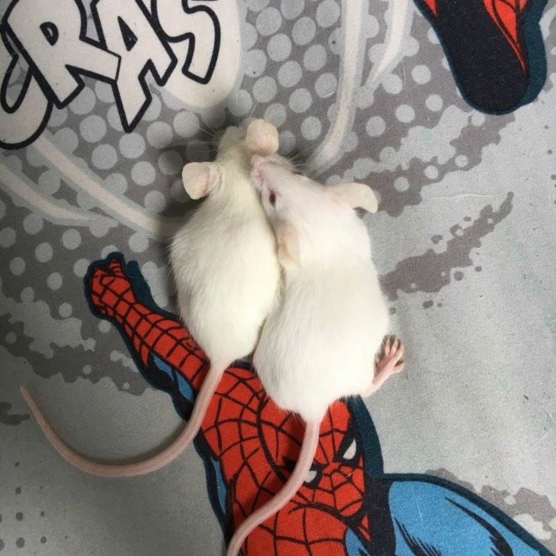 Two new mousie babies! Mice_310