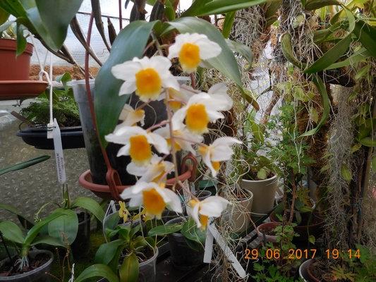 Dendrobium  Npqo10