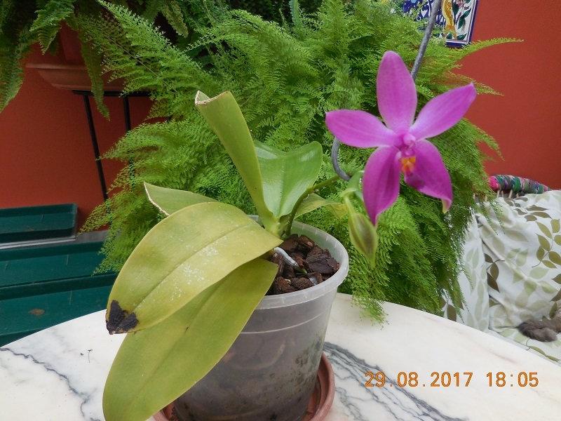 Phalaenopsis violacea x ........Malaysie Vxrs10