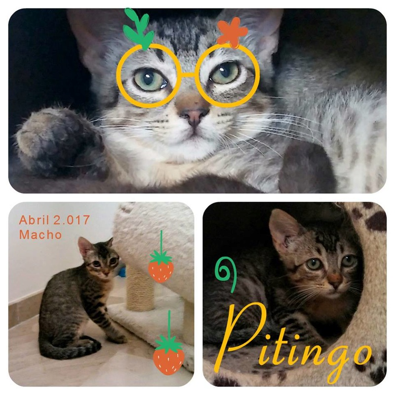 PITINGO - GRIS - ES (Sole) 19756311