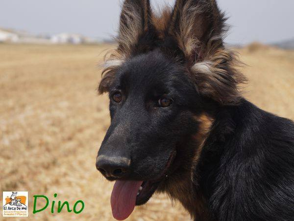 DINO - CROISE BERGER ALLEMAND - ES (Sole) 20637810