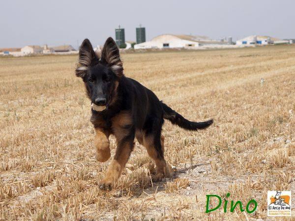 DINO - CROISE BERGER ALLEMAND - ES (Sole) 20664011