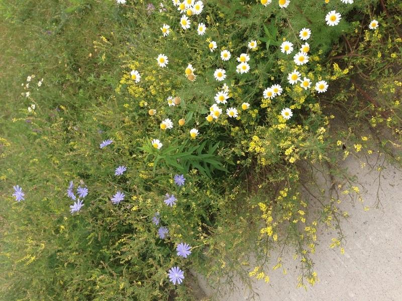 Wildflowers or weeds? Img_6224
