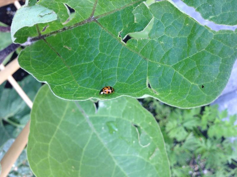 Acquired a Ladybug During a Walk! Img_6225
