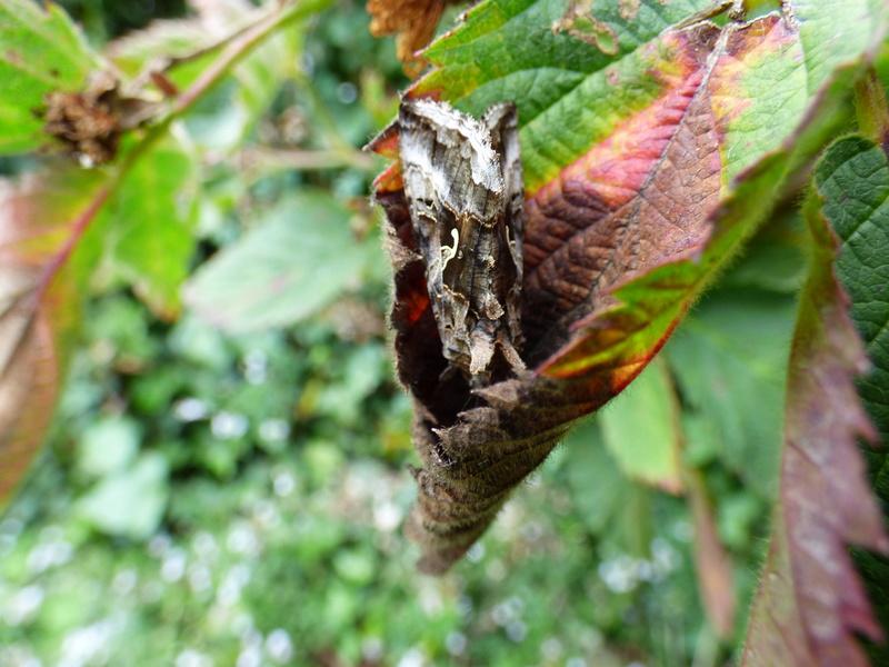 identification papillons P1030413